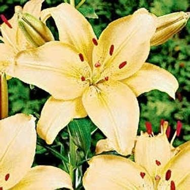 nomi e immagini di tutti fiori giglio linguaggio dei fiori giglio linguaggio dei fiori