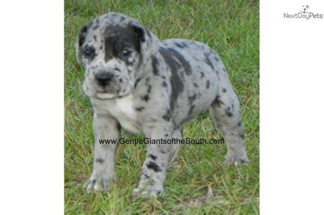 merle great dane puppies for sale 1000 ideas about dane puppies on great dane puppies great danes and big dogs