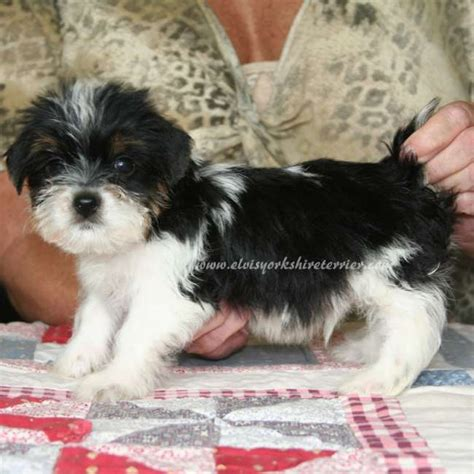 teacup yorkie puppies for sale chicago teacup yorkie puppies akc parti yorkie puppies for sale breeds picture