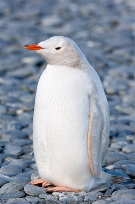 White Pinguin 15 beautiful white animals special photos talk