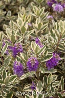 flowering evergreen shrubs zone 7 variegated leaf collection on perennials