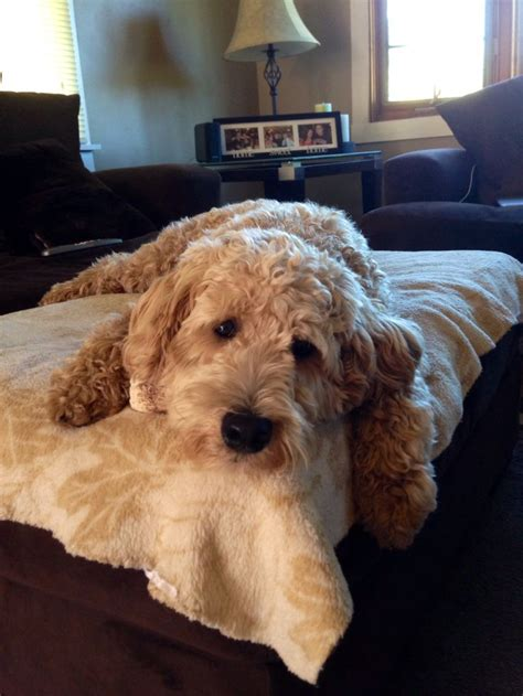 mini goldendoodles rescue in ohio adorable lazy mini goldendoodle precious