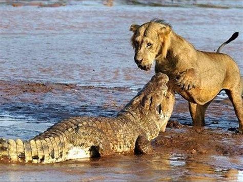 imagenes leones peleando video de animales salvajes pelando videos de animales