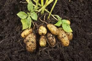pomme de terre ratte culture plantation cuisine ooreka
