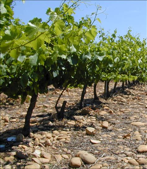 klasifikasi tumbuhan berbiji anggur vitis vinifera