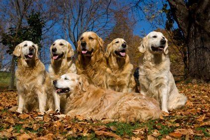 what color will my golden retriever be how many golden retriever colors are there