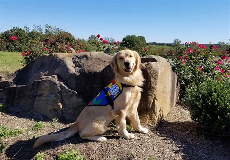 golden retriever autism highly trained autism service to help daughters age six in chester maryland