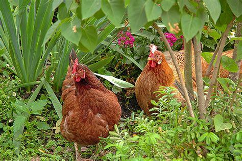 Chicken Garden by Barred Plymouth Rock Mangotangerine