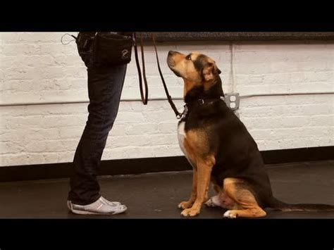 how to teach your puppy to sit how to teach your to sit bravecto flea