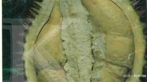 Bibit Durian Petruk Dijual peluang usaha budidaya durian hepe