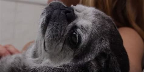 pug documentary this amazing documentary between a and pug will touch your