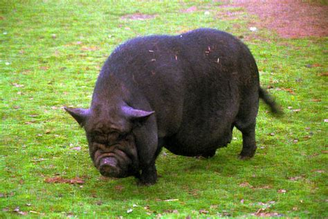 Black Pot Bellied Pig pictures, free use image, 01 14 1 by