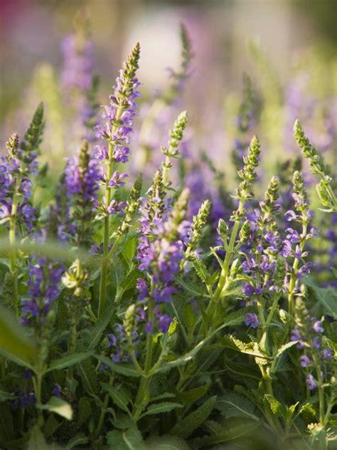 luscious lavender   maintenance hgtv