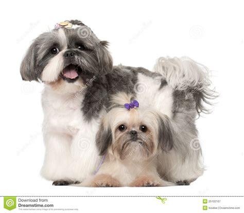 3 month shih tzu shih tzu 3 years and 9 months standing royalty free stock photography