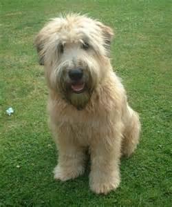 Crowdsourcing a puppy wheaten terrier