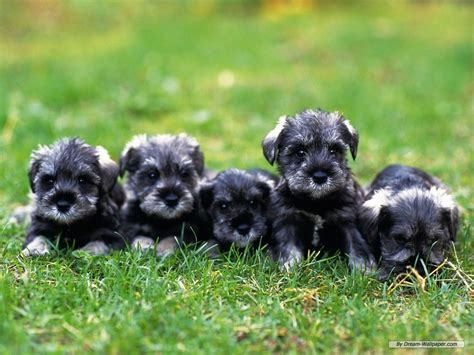 mini dogs miniature schnauzer puppies