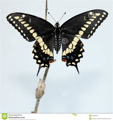 imagenes de mariposas negras grandes mariposa negra de swallowtail imagen de archivo imagen