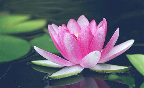 fiori simbologia fiore di loto simbologia cosa dobbiamo sapere
