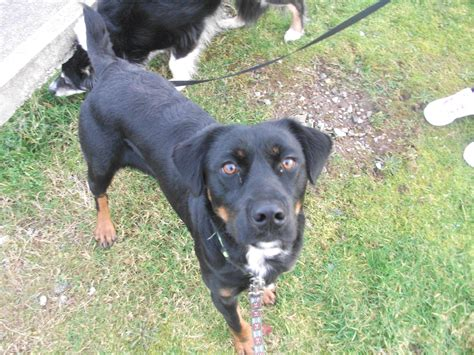 rottweiler x lab billy the labrador x needs a new home dawg