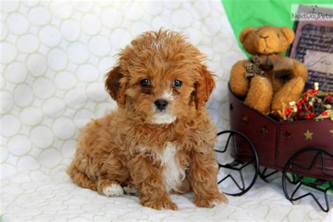 cavapoo puppies near me cavapoo puppy for sale near lancaster pennsylvania 2af4384b 4581