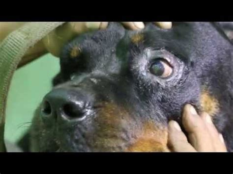 rottweiler eye infections bulldog entropion surgery doovi
