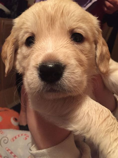 golden retriever puppies for sale in kent stunning pedigree golden retriever puppies gravesend kent pets4homes