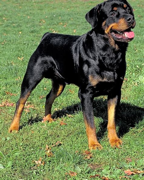 akc rottweiler akc meet the breeds rottweiler
