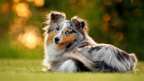 what type of was lassie the collie fondly known as the lassie
