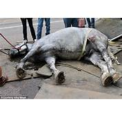 Collapsed A 13 Year Old Carriage Horse Named Jerry Near The