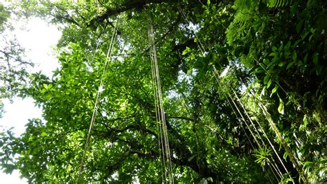 Canopy Definition Rainforest Mlewallpapers Jungle Ropes