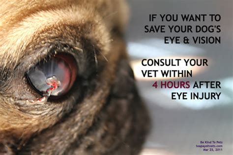 pug eye injury canine veterinary surgery anaesthesiaveterinary surgery anaesthesia singapore toa