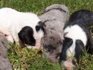great dane puppies louisiana great dane puppies in louisiana