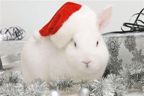 images of christmas rabbits christmas bunny wallpaper wallpapersafari