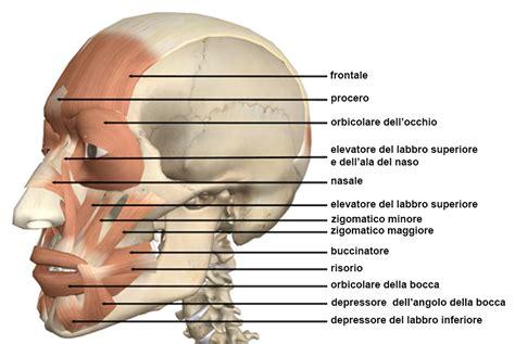 muscoli testa testa e collo scuolanatomia