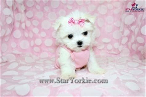 teacup maltese puppies for sale 300 teacup maltese puppies available now reseda for sale los angeles san fernando