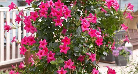 sundaville fiore mandevilla mandevilla dipladenia mandevilla