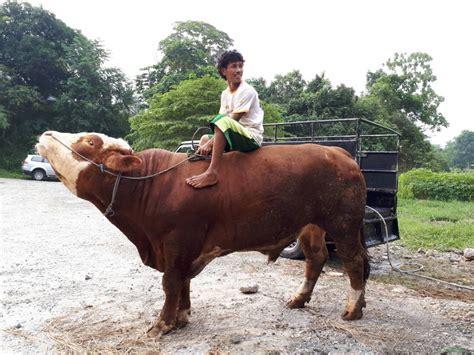 Jual Bibit Sapi Limosin Jakarta harga sapi qurban 2017 jakarta jual sapi limosin jual sapi simental jual sapi qurban 2018