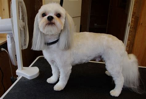 why has my maltese terrier got thin hair julio shihtsu maltese x eldy s little shop dog grooming