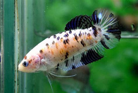 7 Jenis Makanan Ikan Cupang ikan cupang koi ikancupangku medium