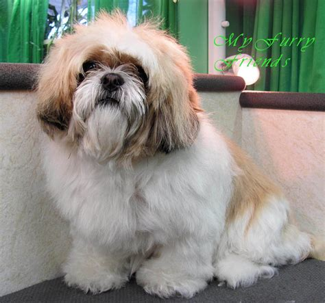large shih tzu my friends pet grooming self serve pet wash before after photos