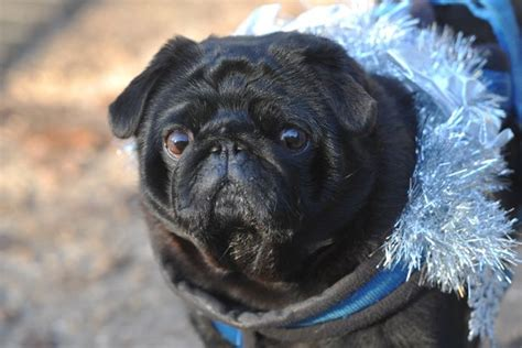 what country do pugs come from it s official pugfest is coming to cambridge this august cambridge news