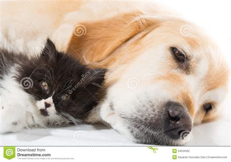 cat and golden retriever golden retriever with a cat stock photo image of 34534562