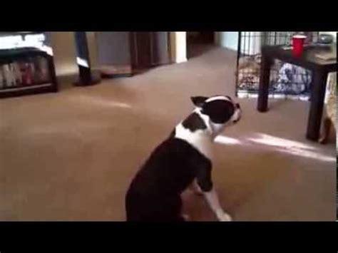 pug asthma attack has asthma attack sneezing tibetan spaniel funnydog tv