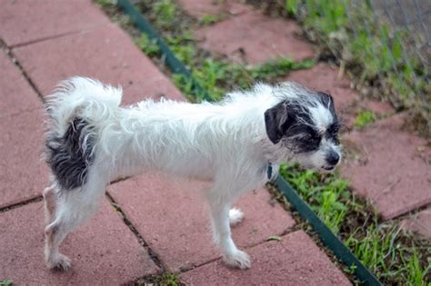 shih tzu terrier mix price lacy lulu shih tzu humane society of dallas county