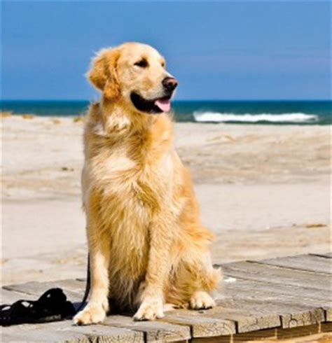 golden retriever allergy surethe abc s of designer ailments sure
