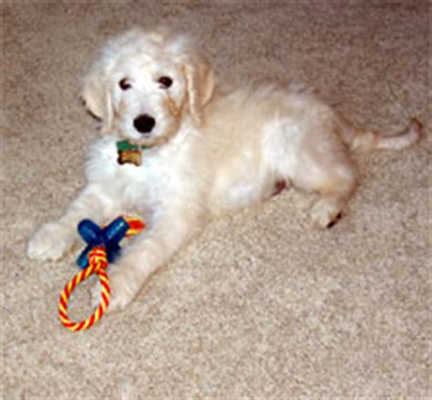 goldendoodle puppy northern california goldendoodle northern california rescue breeds picture