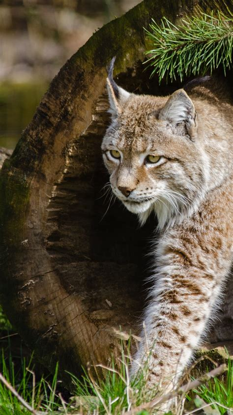 wallpaper lynx worlds dangerous animals wild cats animals