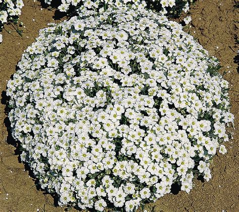 arenaria montana apulia plants