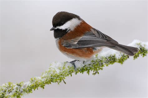 chestnut backed chickadee 5