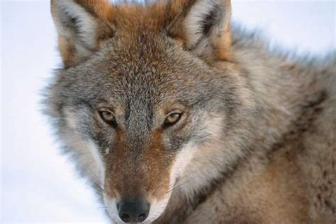 russian wolf conserving russia s forests wwf uk